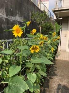 2019.07.24.Yさん ひまわり開花➀