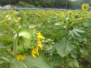 2019.07.16.亀岡市Tさん ひまわり栽培➁