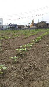 2019.07.22.生活クラブ埼玉Sさん ひまわり栽培➃