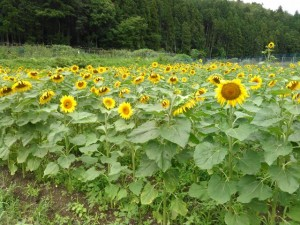 2019.07.16.亀岡市Tさん ひまわり栽培➂