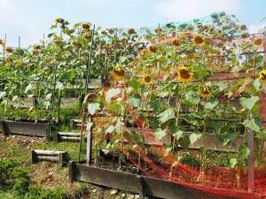 ちょっと窮屈そうだけど、ガマンしてね。 大きな花はだいぶ種が充実してきてます。